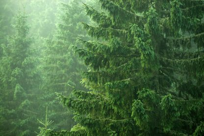 A norway spruce tree in a forest.