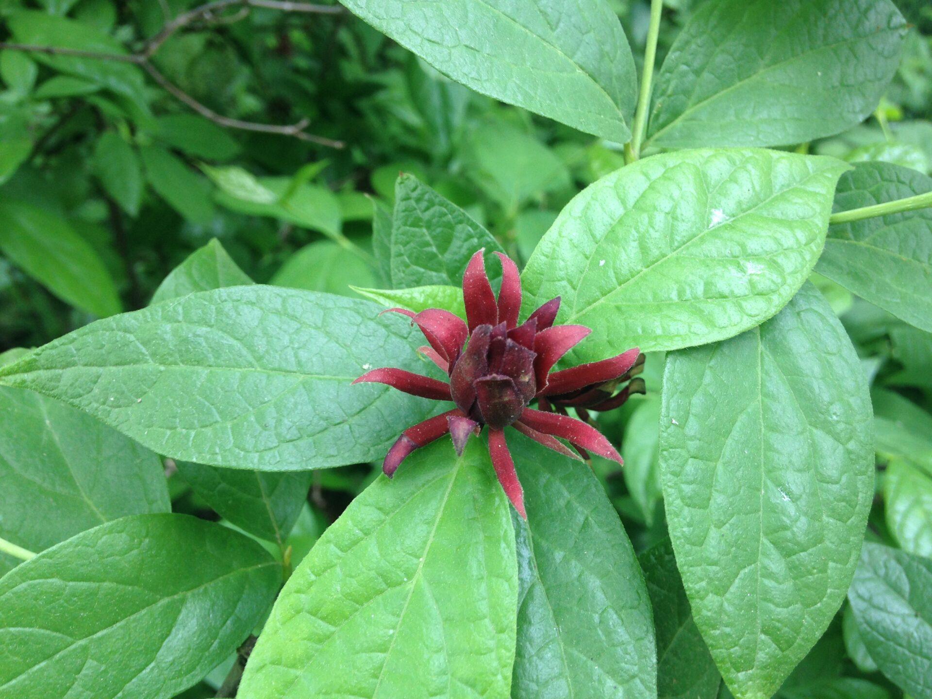 Sweetshrub Carolina Allspice Strawberry Bush Shrubs For Sale