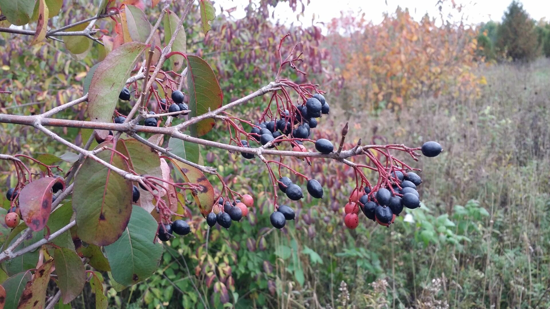 Blackhaw Viburnum Shrubs Amp Bushes For Sale