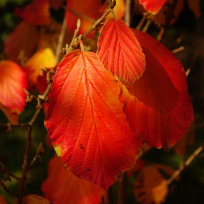 Witch-hazel Fall Leaves
