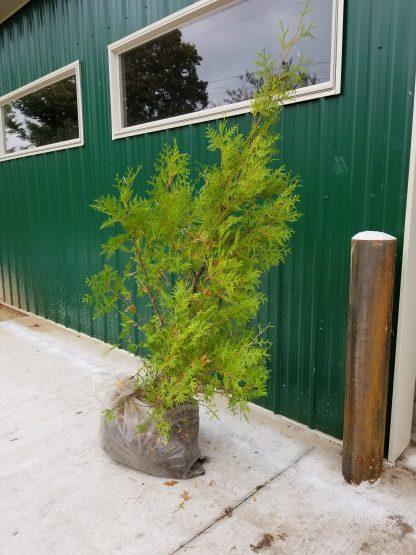 A cedar white root ball.